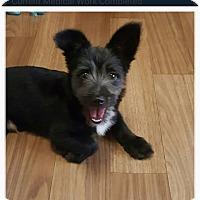 Adopt A Pet :: Stark - Oakton, VA