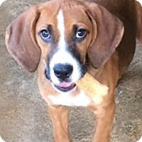 Adopt A Pet :: Kami - Cairo, GA