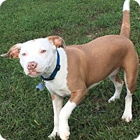 Pit Bull Terrier Mix Dog for adoption in Rustburg, Virginia - Hera-Fostered