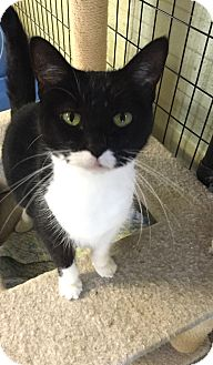 Domestic Shorthair Cat for adoption in Holland, Michigan - Vala