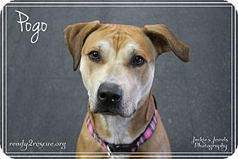 American Pit Bull Terrier/Labrador Retriever Mix Dog for adoption in Rockwall, Texas - Pogo