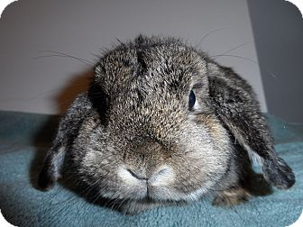 Lop-Eared Mix for adoption in Hillside, New Jersey - Butons