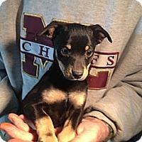 Adopt A Pet :: Brandi - Seattle, WA