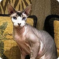 Adopt A Pet :: Neikiddo - Davis, CA