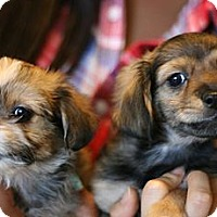 Adopt A Pet :: Chewey's Puppies! - Canoga Park, CA