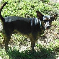 Adopt A Pet :: Belle - Normandy, TN