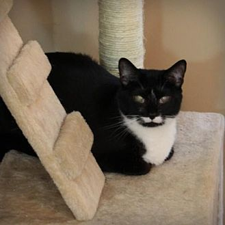 Domestic Shorthair Cat for adoption in Raleigh, North Carolina - Aliant