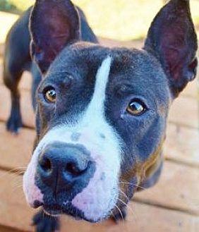 Pit Bull Terrier Mix Dog for adoption in Dallas, Georgia - Cora - Courtesy Post