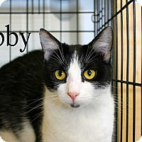 Domestic Shorthair Cat for adoption in Wichita Falls, Texas - Abby