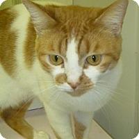 Adopt A Pet :: Marmalade - Hamburg, NY