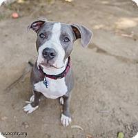 Adopt A Pet :: Vincent - La Habra, CA