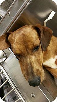 Dachshund/Corgi Mix Dog for adoption in Anderson, South Carolina - WINNER