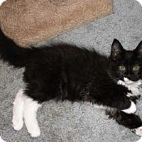 Domestic Mediumhair Kitten for adoption in Merrifield, Virginia - Valentine