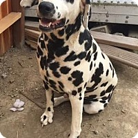 Dalmatian Dog for adoption in Turlock, California - Manchitas
