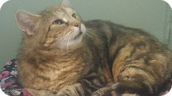 American Shorthair Cat for adoption in Swansea, Massachusetts - Lucy