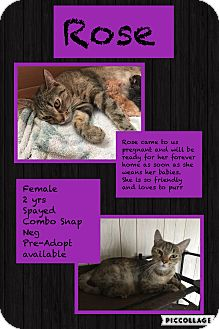 Domestic Shorthair Cat for adoption in CLEVELAND, Ohio - Rose