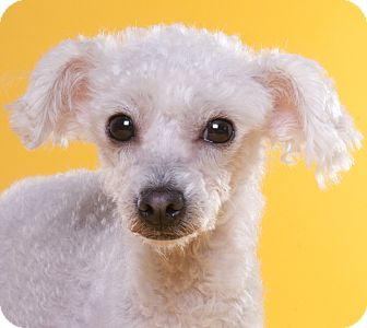 Poodle (Toy or Tea Cup) Dog for adoption in Chicago, Illinois - Snow