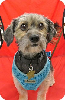 Silky Terrier Mix Dog for adoption in Studio City, California - Louie