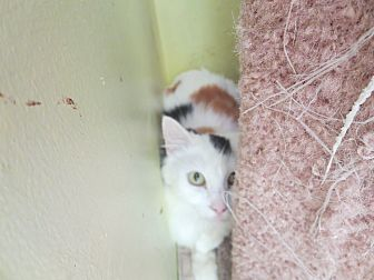 Calico Cat for adoption in Coos Bay, Oregon - Jelly Bean