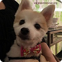 Adopt A Pet :: Sir - Irvine, CA