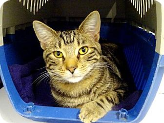 Domestic Shorthair Cat for adoption in Belleville, Michigan - Calvin