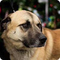 Adopt A Pet :: Bear - chouteau, OK