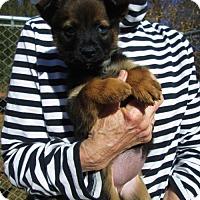 Adopt A Pet :: IVA NELL - Williston Park, NY