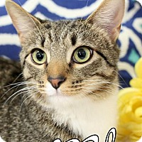 Adopt A Pet :: Milo  Male ( Japanese Bobtail!) - knoxville, TN