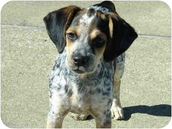 blue tick beagle puppy info
