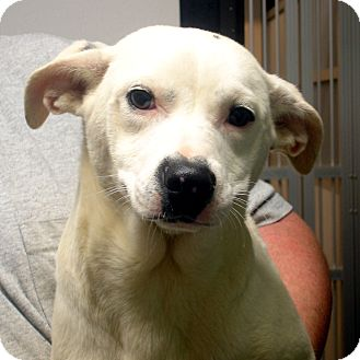 Labrador Retriever/Dalmatian Mix Dog for adoption in baltimore, Maryland - Jillian