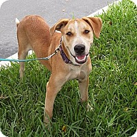 Labrador Retriever Mix Dog for adoption in Key Biscayne, Florida - July