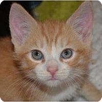 Adopt A Pet :: 4 male orange boys - Island Park, NY