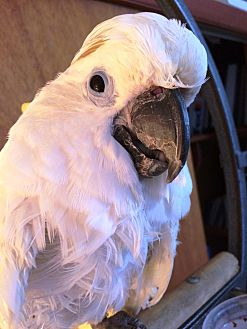 Cockatoo for adoption in Shawnee Mission, Kansas - Kojak