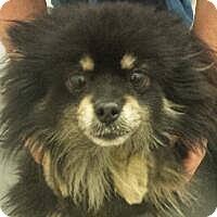 Adopt A Pet :: April - Gilbert, AZ