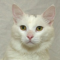 Adopt A Pet :: Cotton L - Sacramento, CA