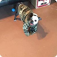 Adopt A Pet :: Panda - Weatherford, TX