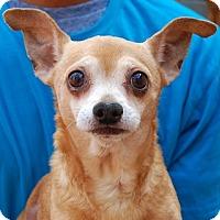 Chihuahua Mix Dog for adoption in Las Vegas, Nevada - Gabriel