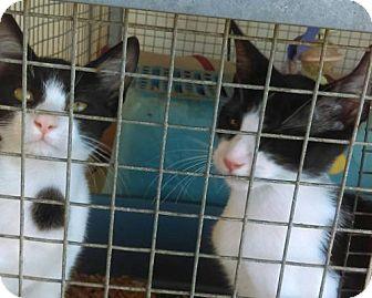Domestic Shorthair Kitten for adoption in Tonopah, Arizona - Missy and Sammy