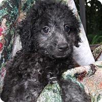 Adopt A Pet :: Shireen Orlando - Venice, FL
