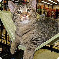 Domestic Shorthair Kitten for adoption in Fort Wayne, Indiana - grant