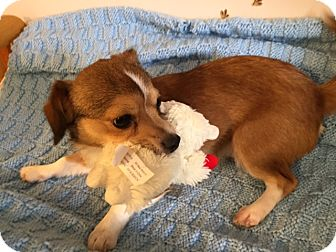 Corgi/Chihuahua Mix Puppy for adoption in Bernardston, Massachusetts - Cash