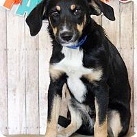 Adopt A Pet :: Gaston - Waldorf, MD