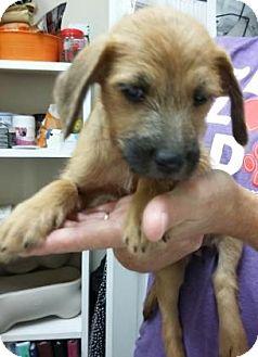 Dachshund/Chihuahua Mix Puppy for adoption in Centerville, Georgia - Brandi