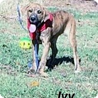 Adopt A Pet :: Ivy in CT - Manchester, CT