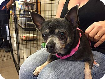 Chihuahua/Dachshund Mix Dog for adoption in Phoenix, Arizona - Zelda