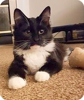 Domestic Longhair Cat for adoption in Concord, North Carolina - Bell