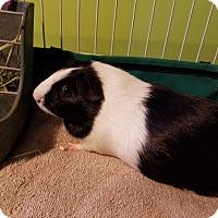 Adopt A Pet :: Daisy - Jeannette, PA