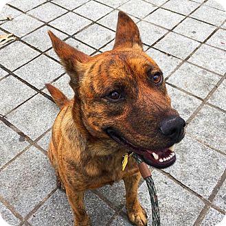 Dutch Shepherd Mix Dog for adoption in New York, New York - Marbles