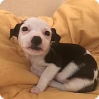 Adopt A Pet :: Trixie - Austin, TX