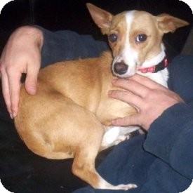Basenji/Chihuahua Mix Dog for adoption in North Wilkesboro, North ...